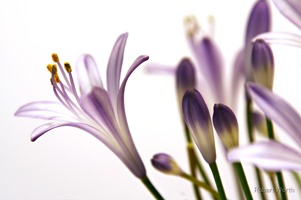 Agapanthus Caulescems by Robert Worth