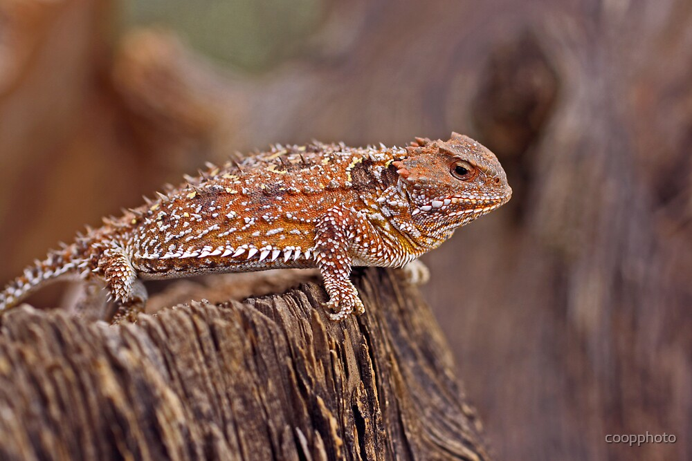 Horned Toad by coopphoto