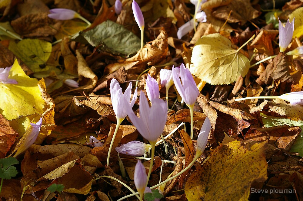 Crocus 3 by Steve plowman