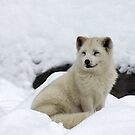 Arctic Fox with a Smile. by vette