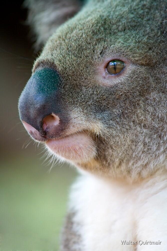 Koala by Walter Quirtmair