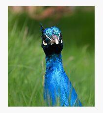 Peacock looking at me......Devon UK Photographic Print