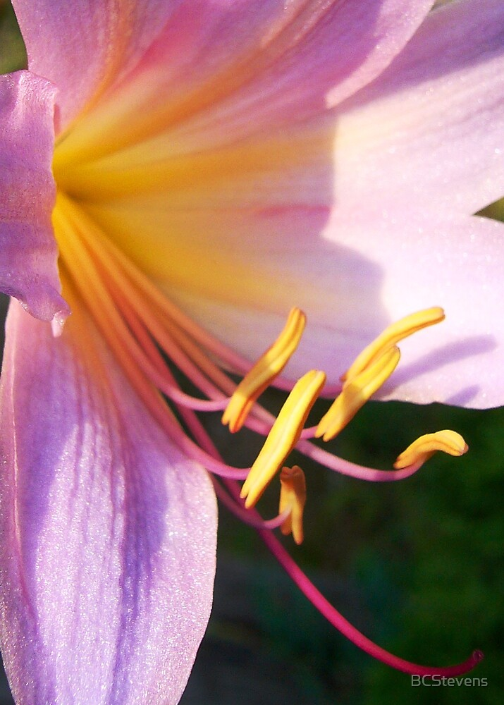 Mystery Lily by BCStevens