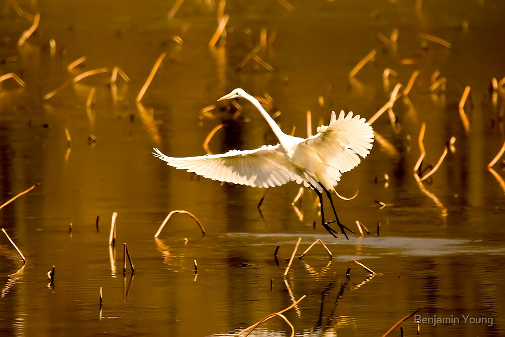 Great Egret by Benjamin Young