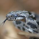 Baby King Snake by coopphoto