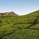 Tea plantation, Munnar by Guy  Berresford