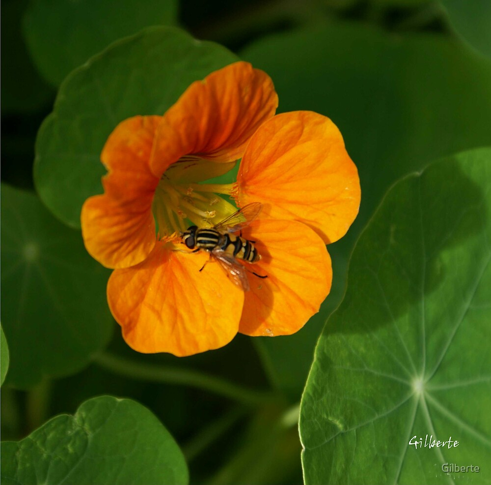 Nasturtium with wasp by Gilberte