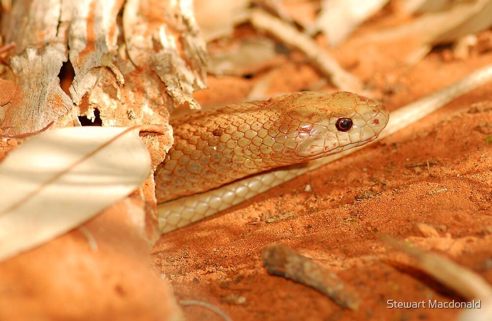 Western brown snake by Stewart Macdonald