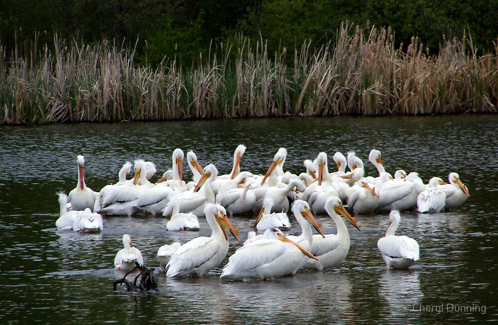 neepawa pelicans by Cheryl Dunning