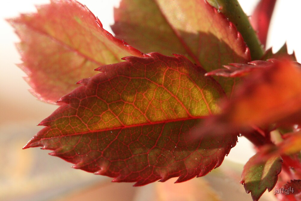 rose leaves in fall by jaffgj4