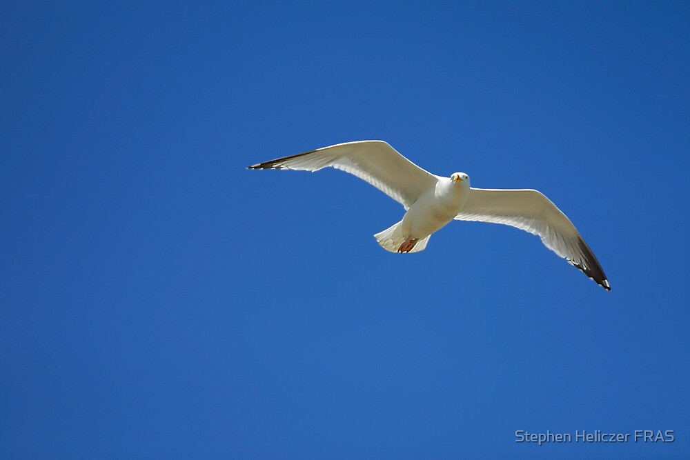 Seagull and a Blue Sky by Stephen Heliczer