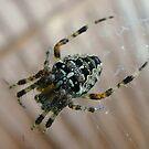 Macro Spider by Stephen Heliczer