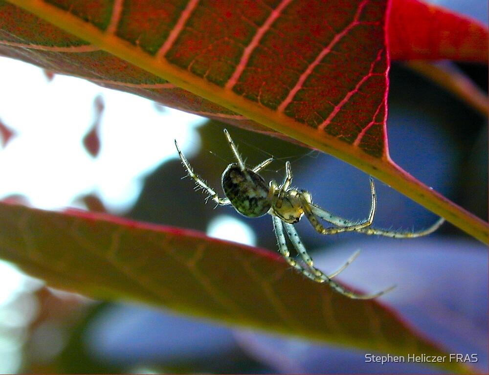 Spider 2 by Stephen Heliczer