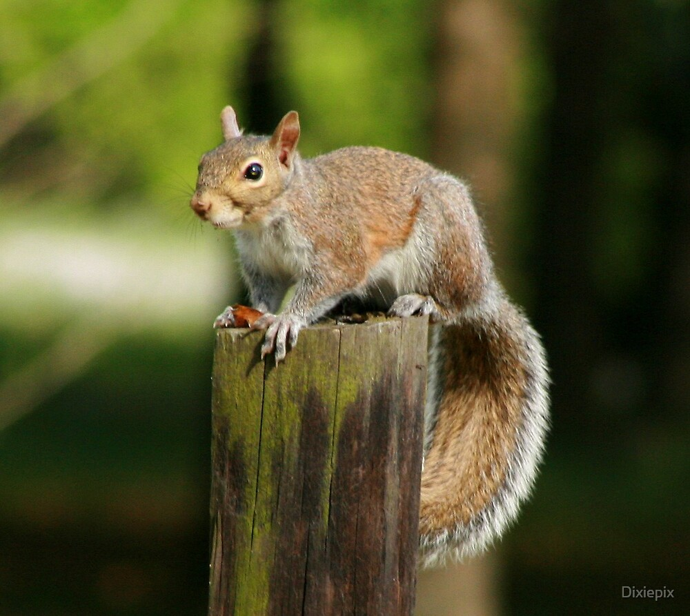 Squirrely by Dixiepix
