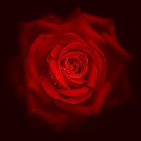 The Red Rose by EbyArts