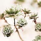 Succulents by evStyle