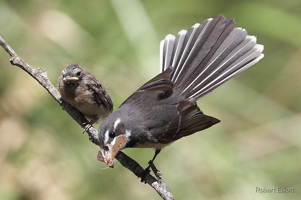 """Grey Fantail and chick ~ """"Lunch Has Arrived""""  by Robert Elliott"""