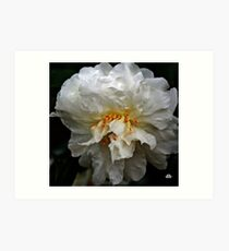 white camellia_3 Art Print