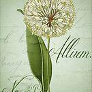 Allium II by mindydidit