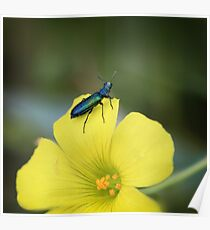 Blue insect on flower Poster