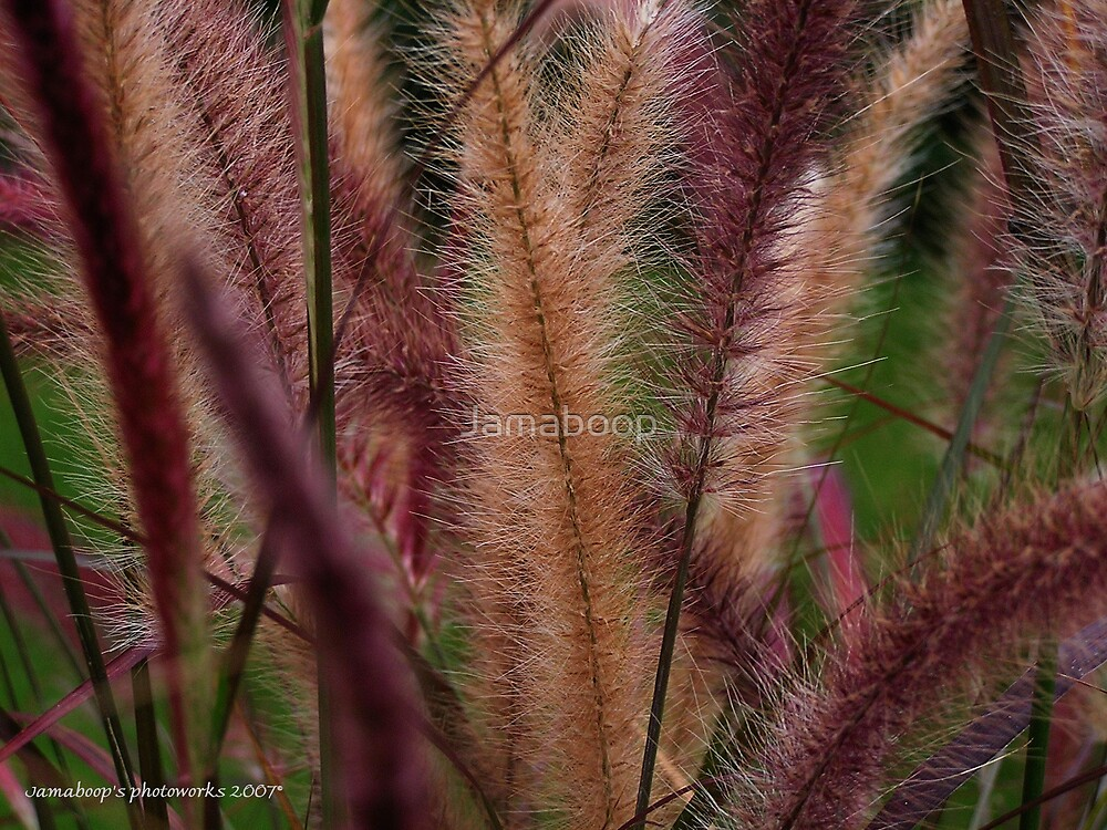 Ornamental grasses by Jamaboop