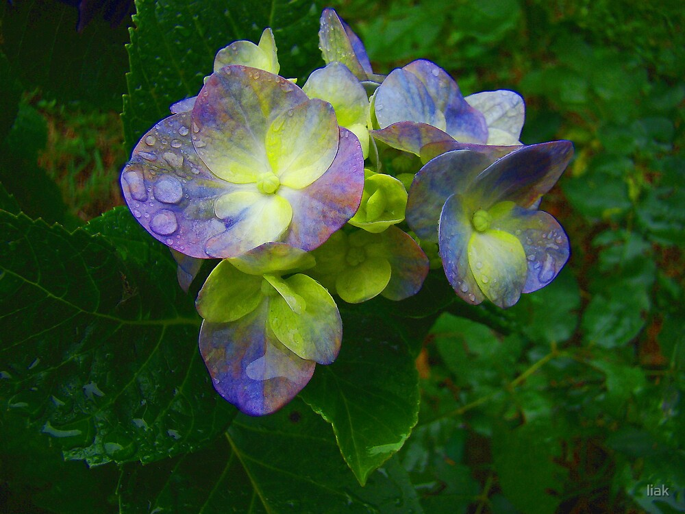 rainy flower by liak