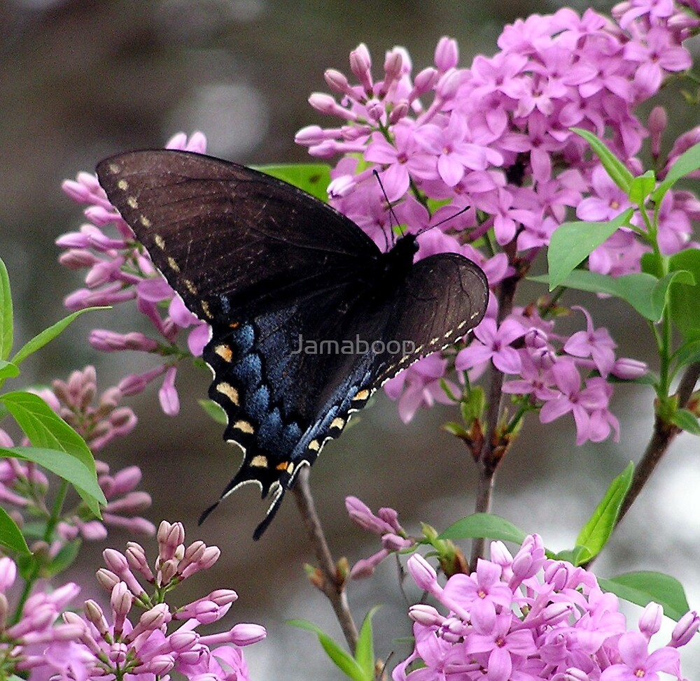 Butterfly on Lilac by Jamaboop