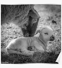 Mothers Kiss - Lamb Poster