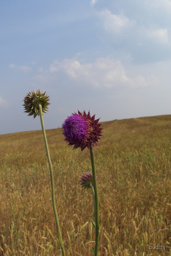 field with thistle by budrfli