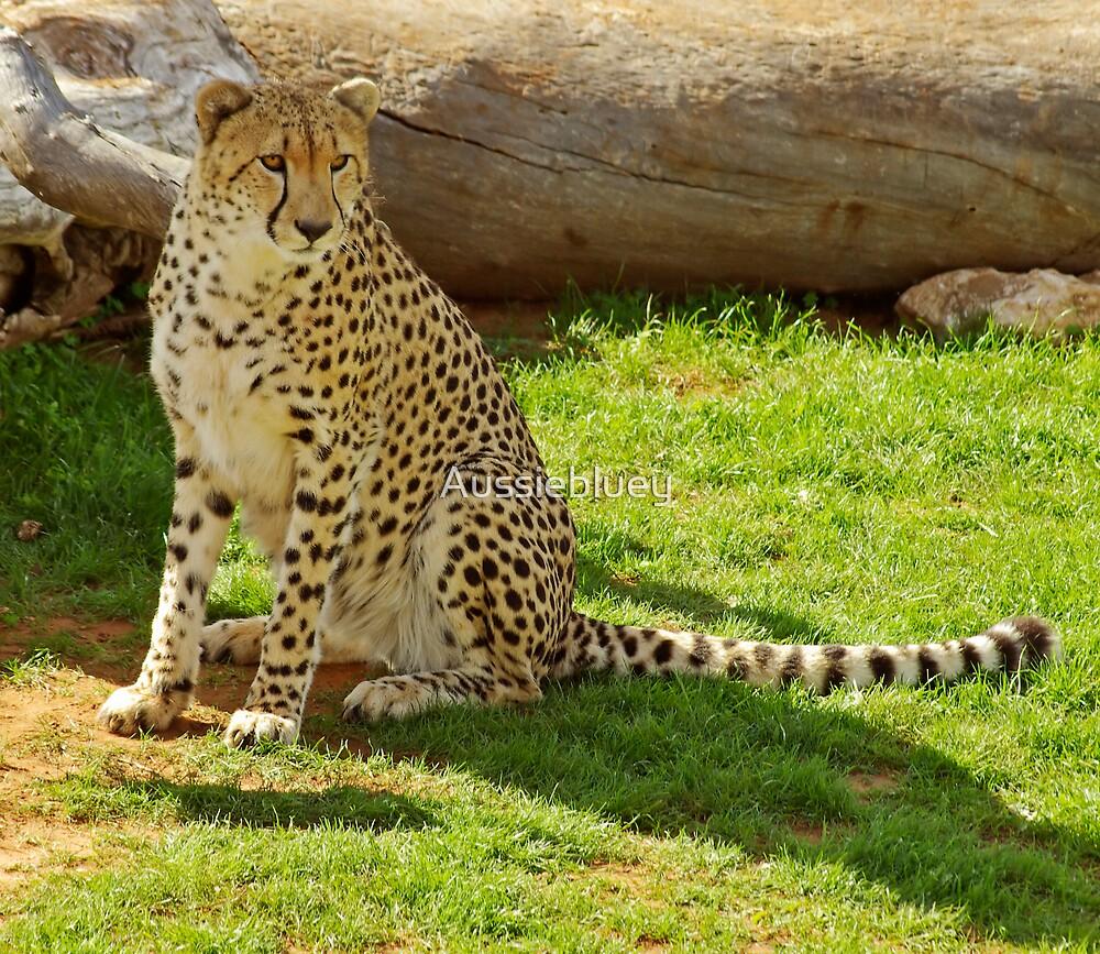 Cheetah by Aussiebluey