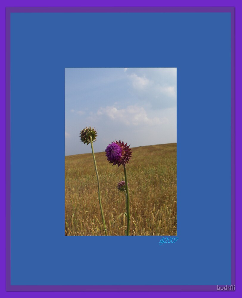 thistle in the field framed by budrfli