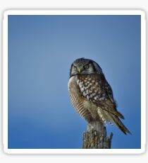 Northern Hawk Owl Sticker