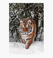 Approaching Tiger D0413 Photographic Print