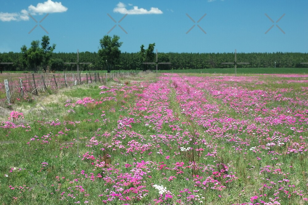 Wild phlox in a field in Florida by Stacey Lynn Payne