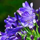 Midnight Agapanthus by Extraordinary Light