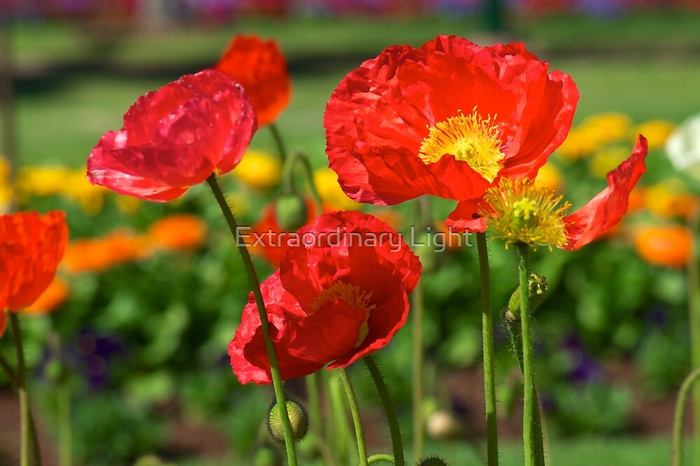 Bright Poppies by Extraordinary Light