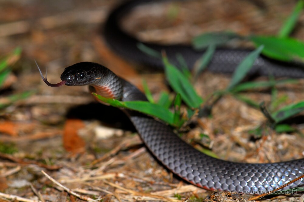 Eastern small-eyed snake by Stewart Macdonald