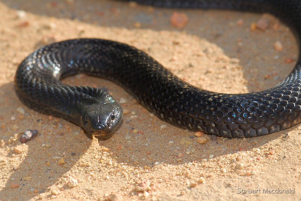 Spotted black snake by Stewart Macdonald