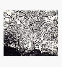 Majestic Angophora costata reaching for the sky Photographic Print