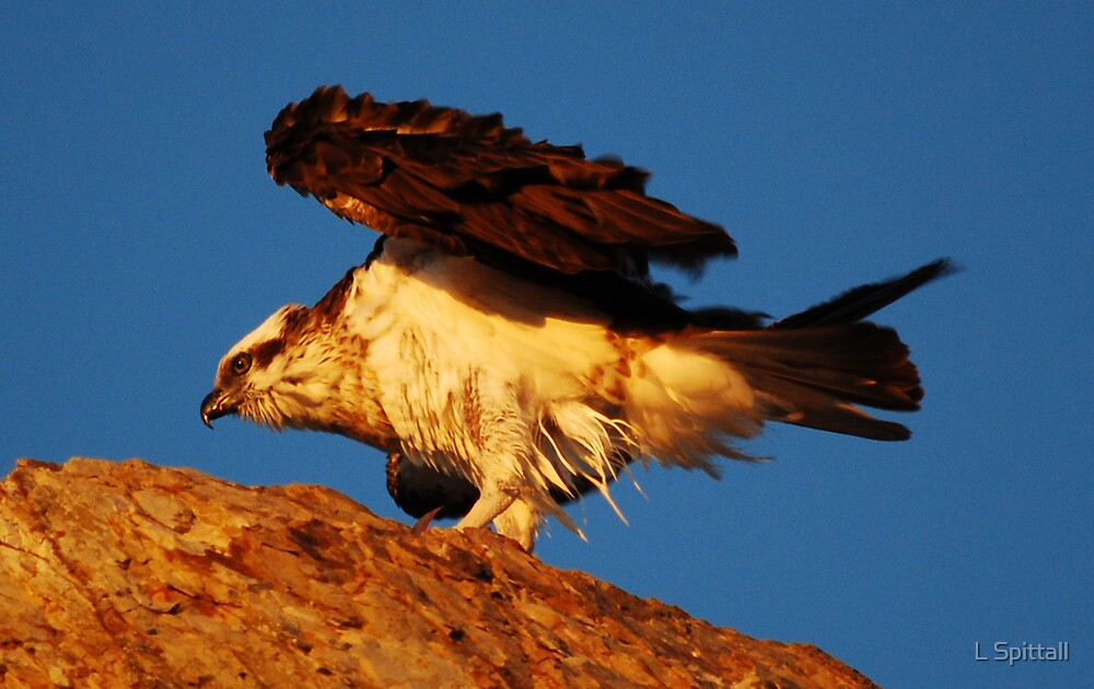 Osprey on Currumbin rock by L Spittall