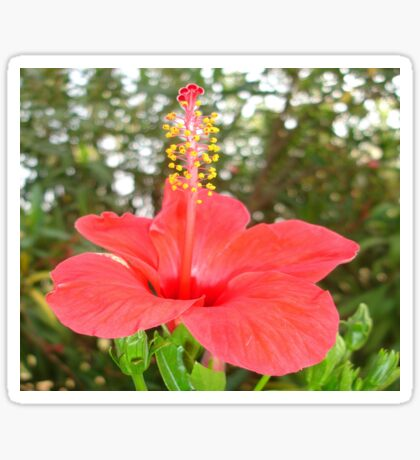 Tropical Red Hibiscus Rose Mallow Sticker