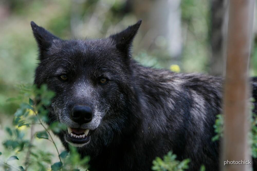 Black Wolf by photochick