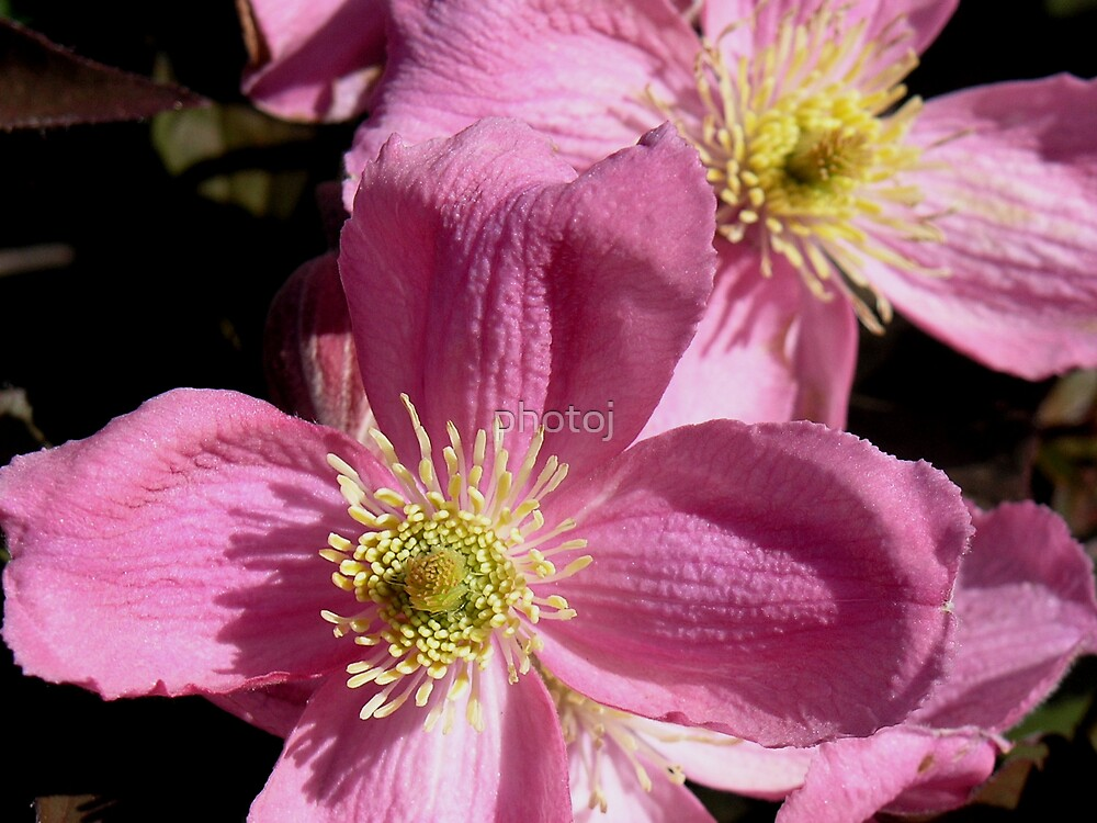 photoj Flora  'Pastle Pink' by photoj