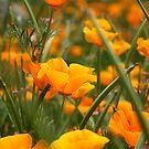 Poppies by Jodi Turner