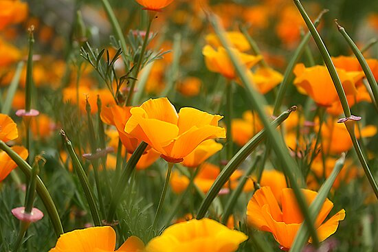 Poppies by Jodi Turner
