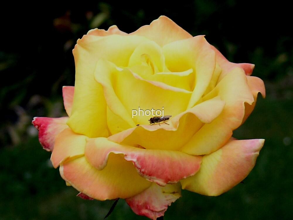 photoj Flora 'Yellow Rose' by photoj