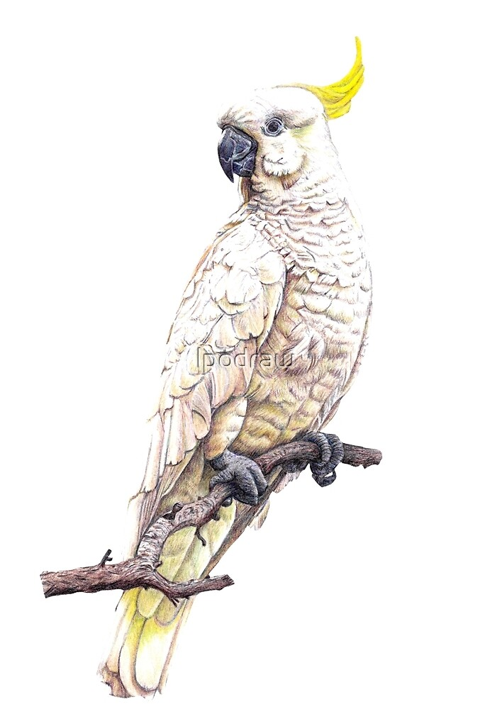 Sulphur Crested Cockatoo by lpodraw