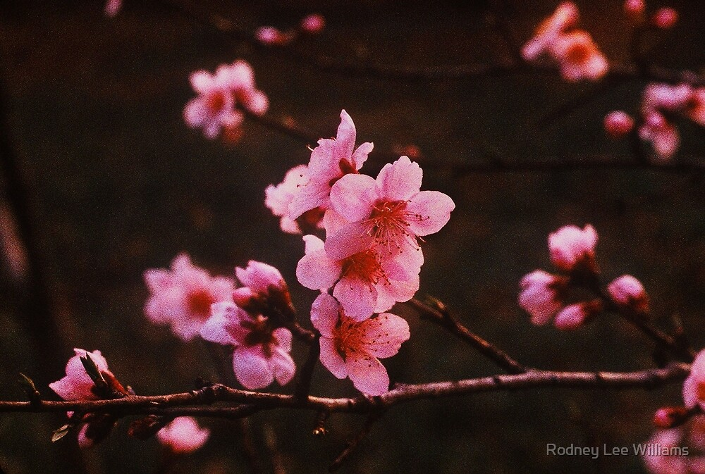 A Softer Spring by Rodney Lee Williams