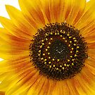 Sunflower  by KylieForster