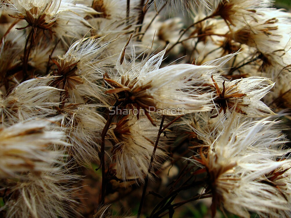 Gone to seed by Sharon Perrett
